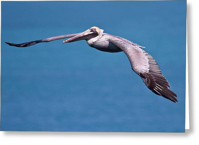 Pelican In Flight Florida Greeting Card by Mr Bennett Kent