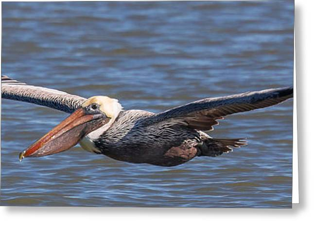 Pelican In Flight Greeting Card by Patricia Schaefer
