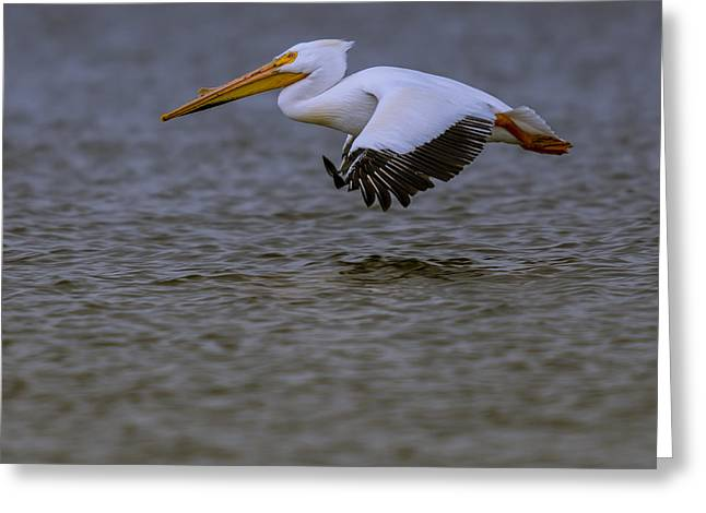 Pelican In Flight Greeting Card