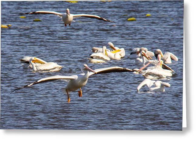 Pelican Landing Greeting Card by Jill Bell