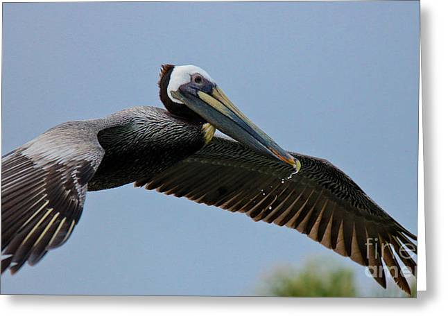Pelican Liftoff Greeting Card
