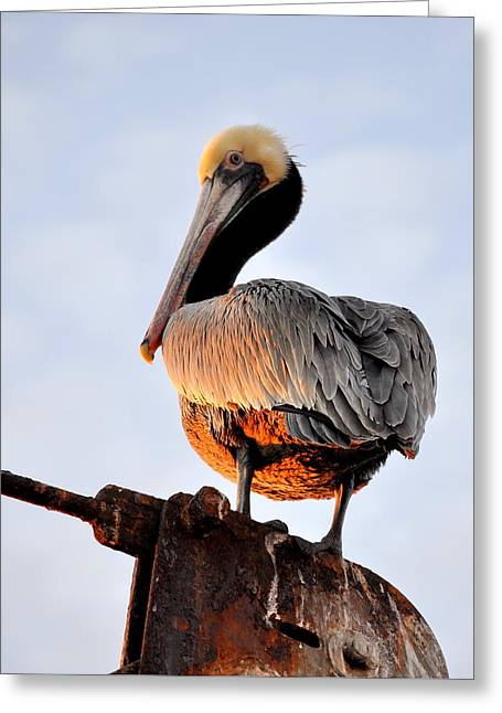 Pelican Looking Back Greeting Card