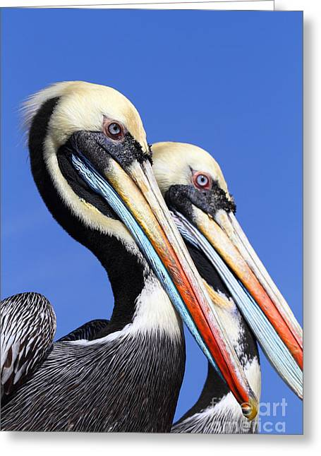 Pelican Perfection Greeting Card by James Brunker