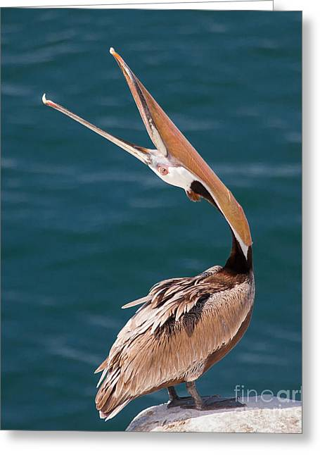 Greeting Card featuring the photograph Pelican Stretch by Dale Nelson
