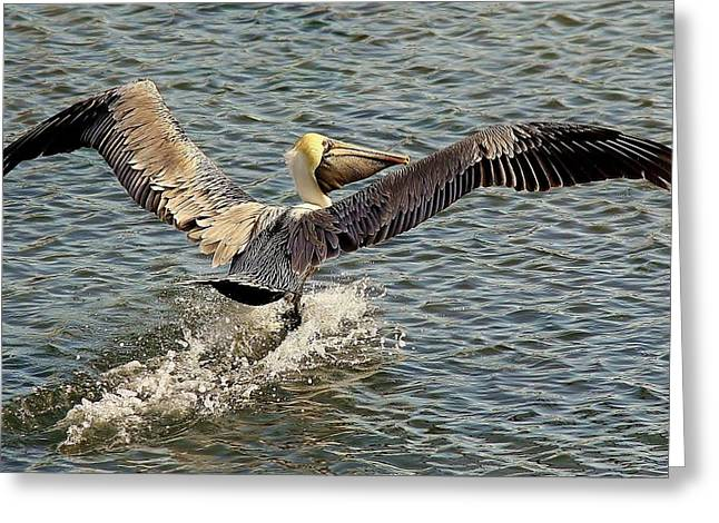 Pelican Take Off Greeting Card by Paulette Thomas