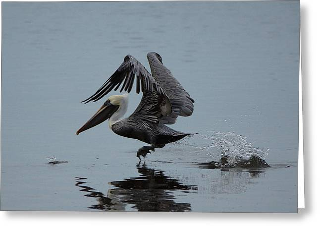 Pelican Takeoff Greeting Card by Scott Dovey