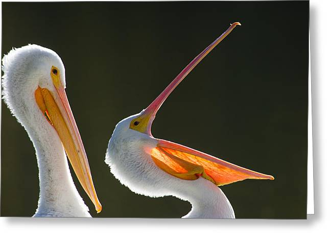 Pelican Yawn Greeting Card
