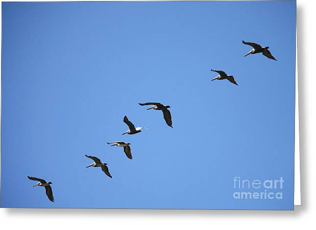 Pelicans Flying Greeting Cards - Pelicans All in a Row Greeting Card by Carol Groenen