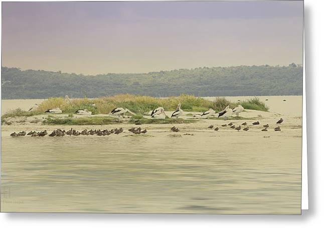 Pelicans At Poddy Shot Greeting Card by Elaine Teague