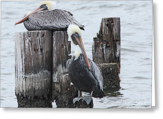 Pelicans Enjoying Lake Ponchartrain Greeting Card