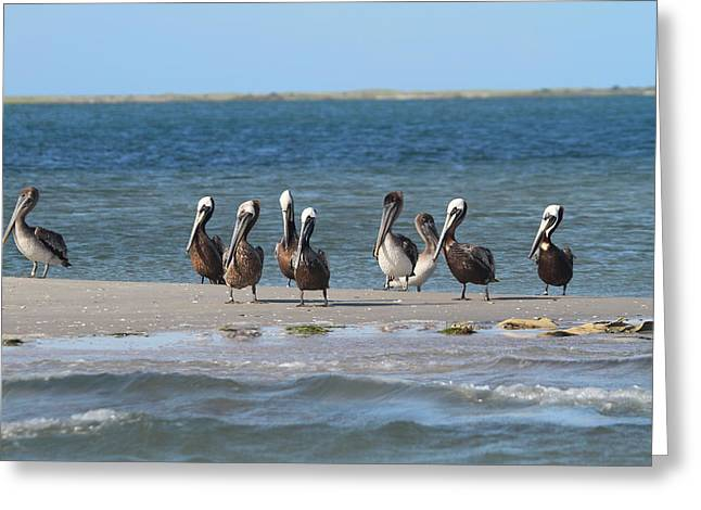 Pelicans Of Bird Island 7 Greeting Card by Cathy Lindsey