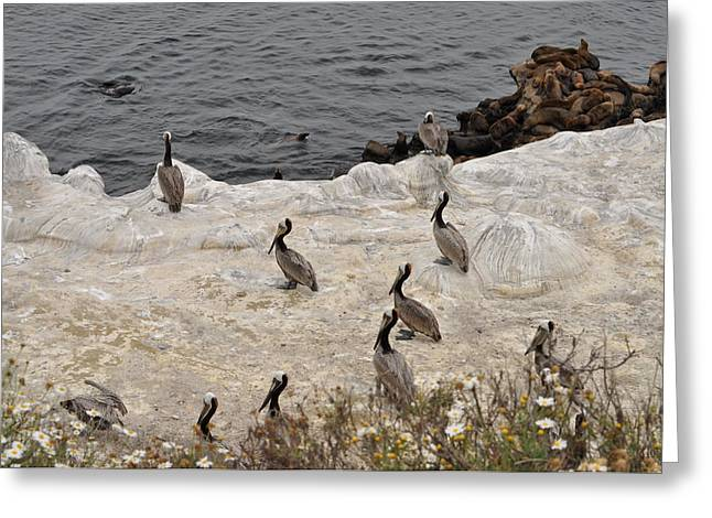 Pelicans Seals N Daisies  Greeting Card