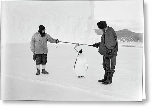 Penguin Research In Antarctica Greeting Card by Scott Polar Research Institute