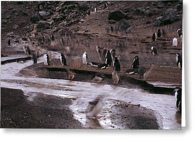 Penguins Make Their Way To The Colony Greeting Card by Panoramic Images