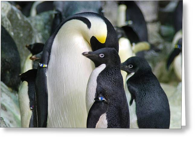 Penguins Greeting Card by Pamela Schreckengost
