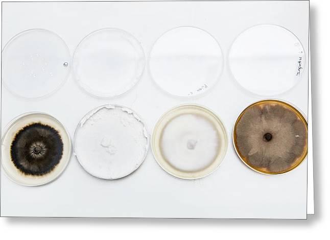 Penicillium Fungus In Petri Dishes Greeting Card