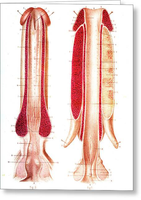Penis Anatomy Greeting Card by Collection Abecasis