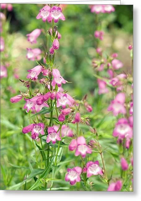 Penstemon 'pink Endurance' Flowers Greeting Card by Adrian Thomas