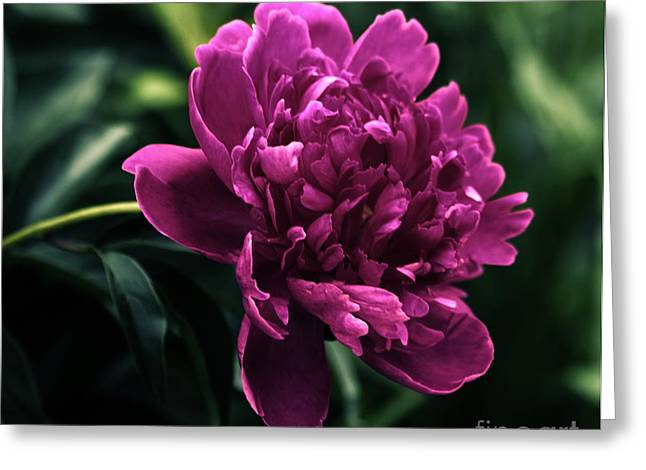 Greeting Card featuring the photograph Peony 2014 by Marjorie Imbeau