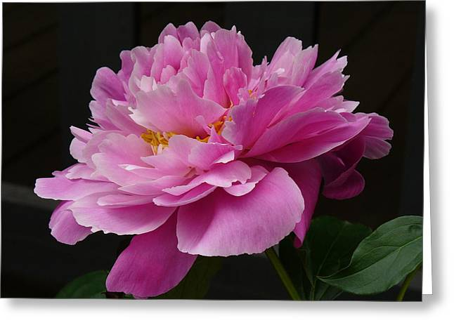 Greeting Card featuring the photograph Peony Blossoms by Lingfai Leung