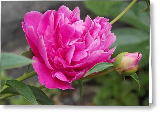 Peony Greeting Card by Catherine Gagne