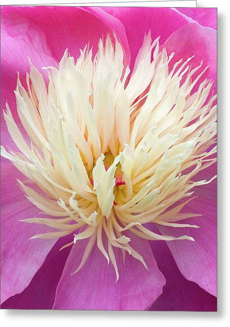 Peony Centre Abstract Greeting Card