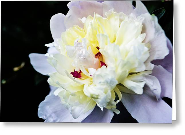 Peony Evening Greeting Card