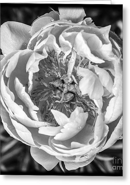 Peony Flower Square Format Greeting Card by Edward Fielding