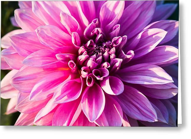 Peony In Bloom Greeting Card by Alexander Senin
