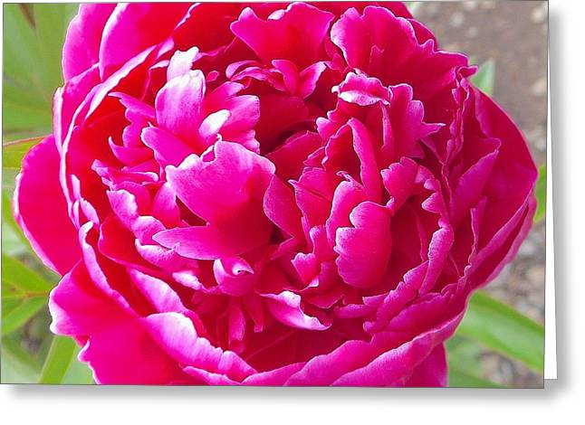 Peony Magnifico Greeting Card