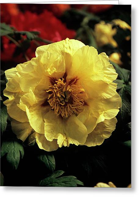 Peony (paeonia 'golden Isle') Greeting Card by Ian Gowland/science Photo Library