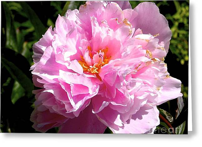 Peony Greeting Card by Sher Nasser
