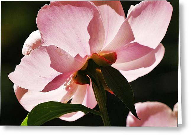 Greeting Card featuring the photograph Peony Shines... by Al Fritz