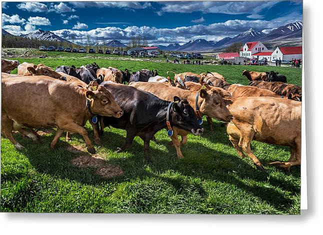 People Watch As A Dairy Cows Are Set Greeting Card