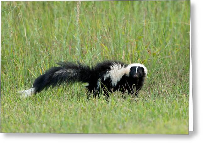 Pepe Le Pew Greeting Card