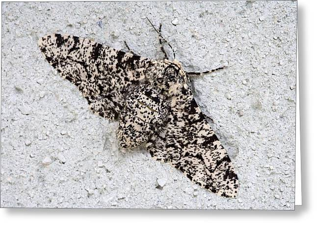Peppered Moth Greeting Card by Power And Syred