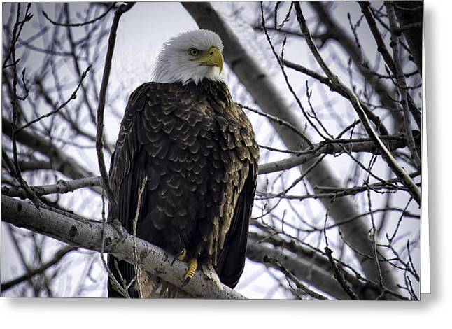 Perched Adult American Bald Eagle Greeting Card