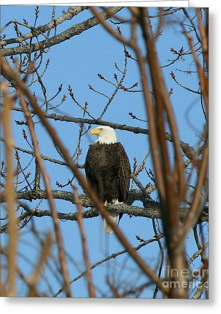Perched American Bald Eagle  Greeting Card by Neal Eslinger