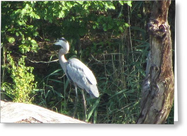 Perched Blue Heron Pondering Greeting Card by Debbie Nester