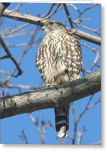 Perched Merlin Greeting Card