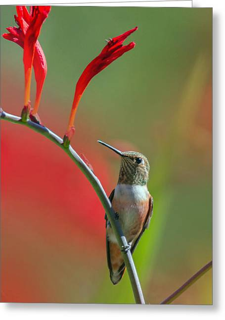 Perched On Crocosmia Greeting Card