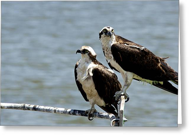 Perched On The River Greeting Card by Kathi Isserman