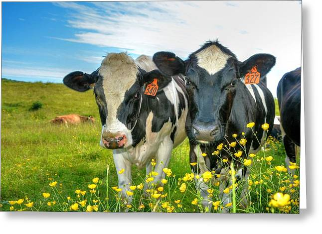Percy's Holsteins Greeting Card by John Nielsen