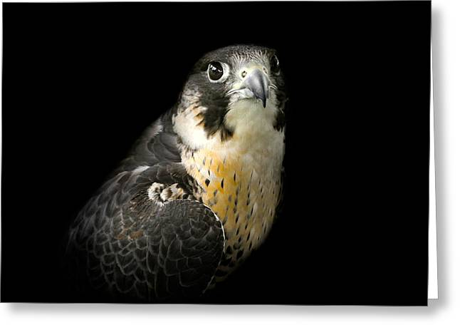 Peregrine Falcon Greeting Card by Bill Wakeley