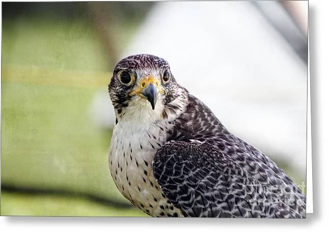 Greeting Card featuring the photograph Peregrine Falcon Bird Of Prey by Eleanor Abramson