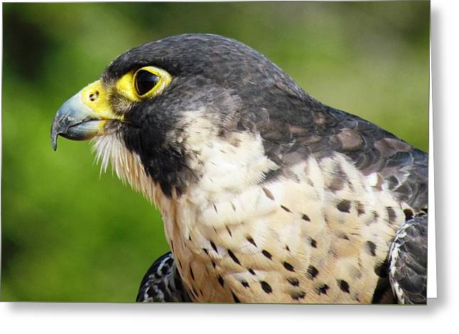 Greeting Card featuring the photograph Peregrine Falcon by Cynthia Guinn