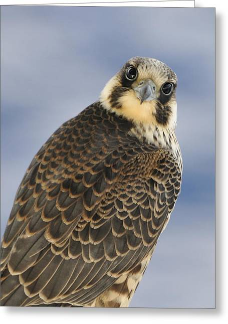 Peregrine Falcon Looking At You Greeting Card