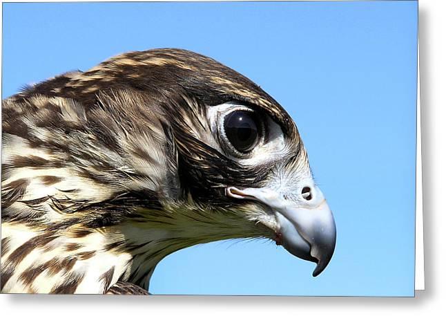 Peregrine Falcon Tashunka Greeting Card