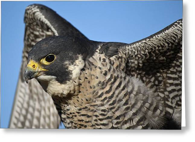 Peregrine Falcon Up Close Greeting Card by Paulette Thomas