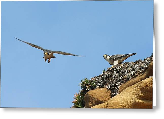 Peregrine Falcons - 1 Greeting Card
